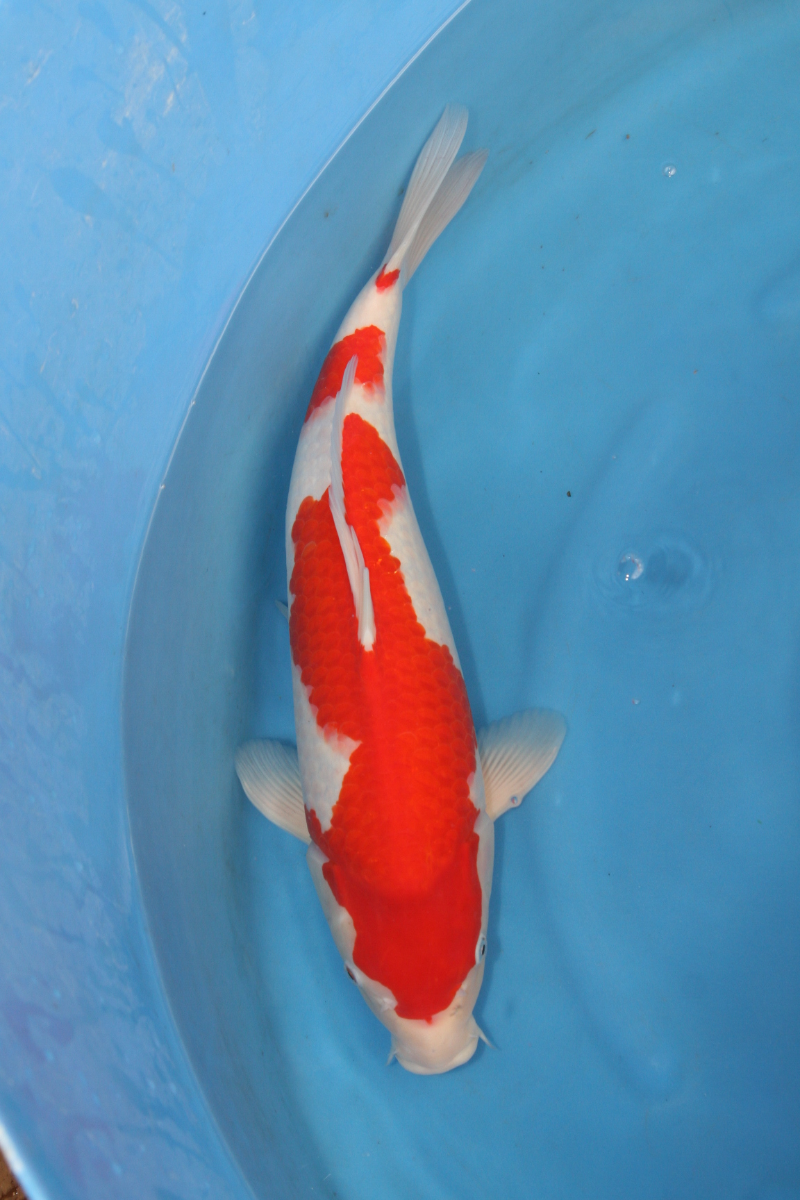 South Hant's 19th Open Koi Show 2010
